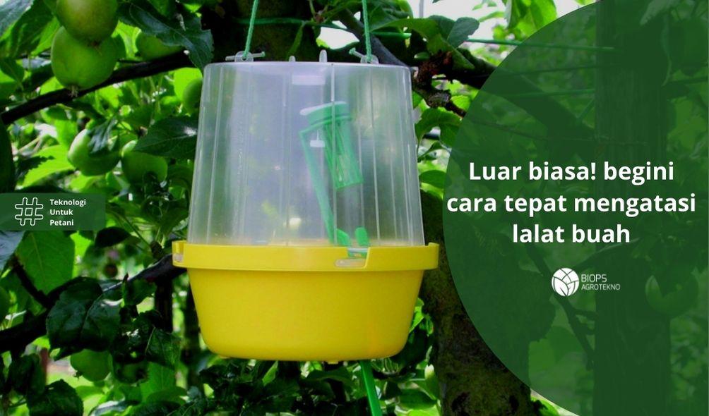 Cara mengatasi lalat buah