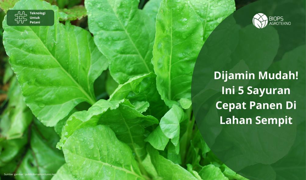 Dijamin Mudah! Ini 5 Sayuran Cepat Panen Di Lahan Sempit